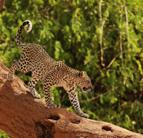 jacques-pitteloud-leopard.jpg.1024x0